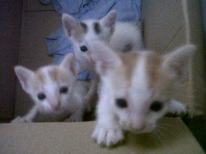 Anak Kucing Kampung Lucu